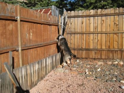 Bongo at the corner of the yard