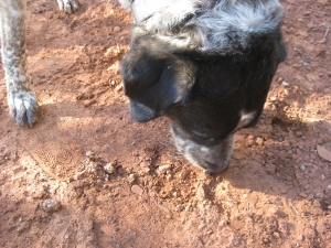 Bongo sniffing something in the dirt