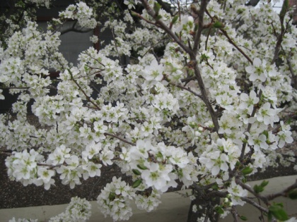 Tree covered in white blossoms