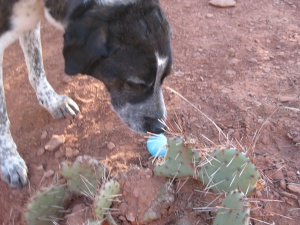Bongo sniffing an Easter egg on the trail