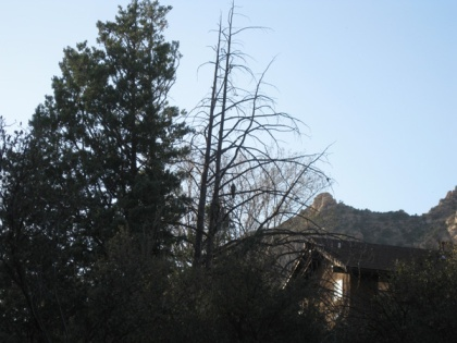 Hawk in tree in the distance
