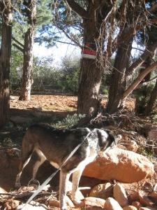 Bongo ignoring a No Trespassing sign