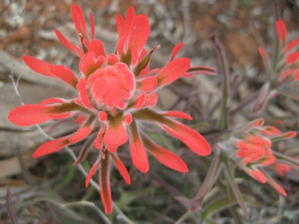Indian Paintbrush in bloom
