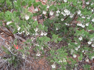 Indian Paintbrush hiding under blooming manzanita bush