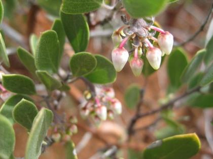 Manzanita bush in bloom