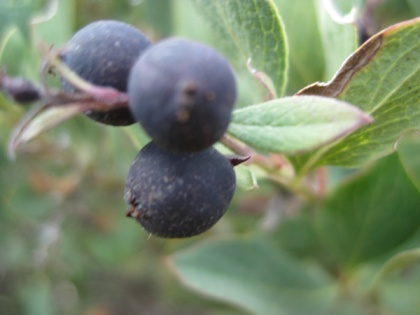 Dark Purple Berries