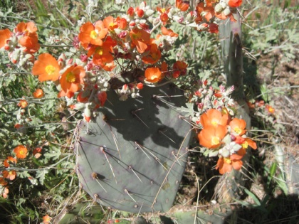 Globe Mallow on top of a Prickly Pear