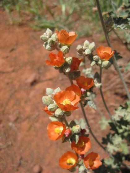 Globe Mallow Blossoms