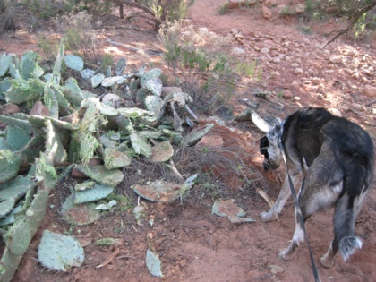 Bongo checking a gopher hole near the destroyed cactus
