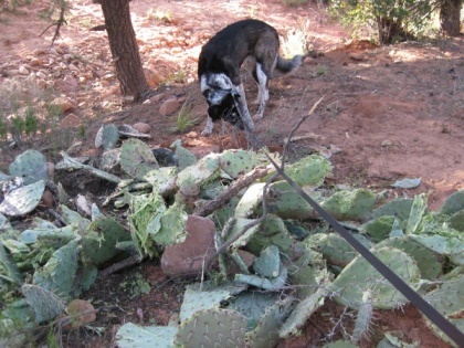 Bongo sniffing near the damaged prickly pear