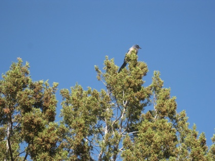 Scrub jay on top of tree