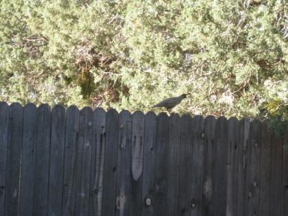 Quail walking along fence