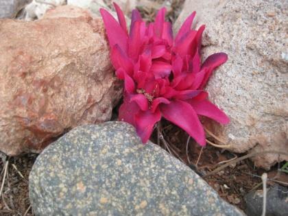 Silk Fower amongst rocks