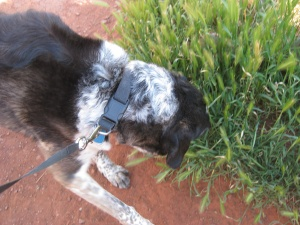Bongo sniffing foxtails
