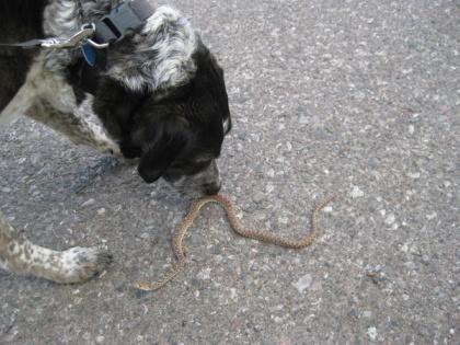 Bongo sniffing a dead bull snake