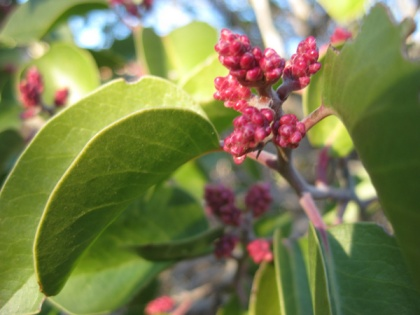 Sugar sumac in bud