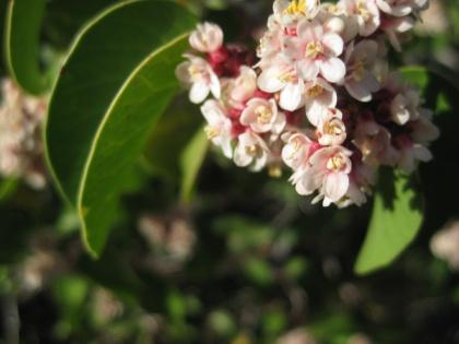 Sugar sumac blossom