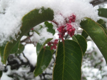 Sugar sumac with buds and snow
