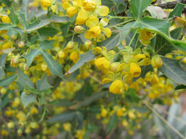 Yellow blossoms on a bush