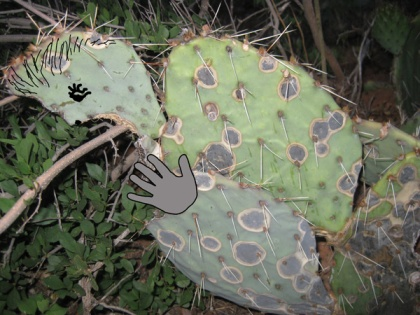 prickly pear cactus with drawings to look like an alien