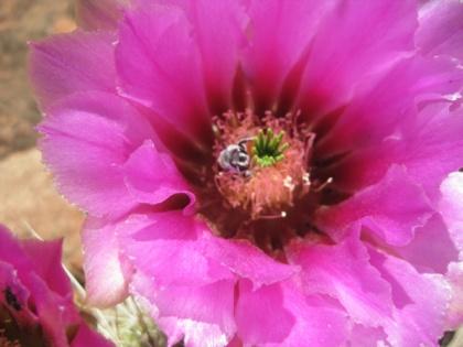 Bee in a hedgehog cactus flower