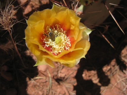 Bee in a prickly pear cactus flower