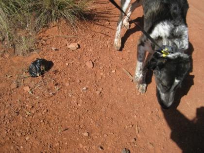 Bongo sniffing near a little black bag