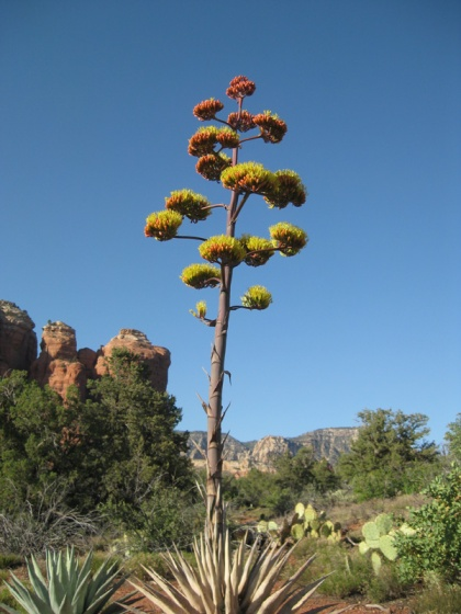 Century plant in front of Coffee Pot Rock