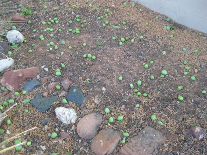 Lots of green fruit on the ground