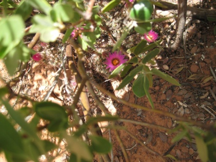 Hedgehog cactus blooming under a bush