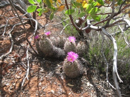 Hedgehog cactus blooming under bush