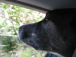 Bongo with his nose out the car window