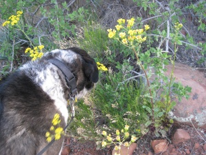 Bongo sniffing yellow flowers
