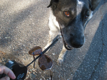 Sunglasses hanging on Bongo's leash