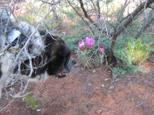 Bongo under a bush looking at cactus blossoms