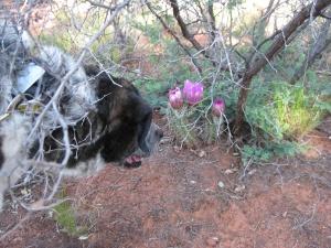 Bongo under a bush looking at cactus blossoms