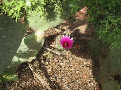 Hedgehog cactus blooming under prickly pear