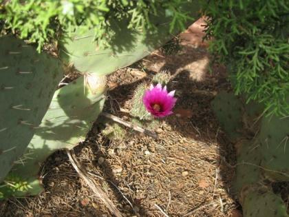 Hedgehog cactus blooming under prickly pear