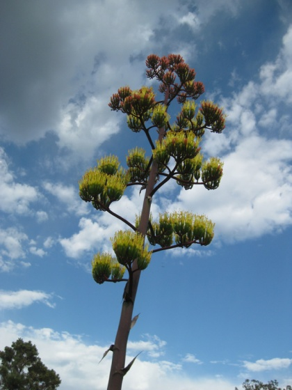 Century plant against a cloudy sky