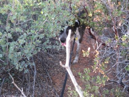 Bongo among the bushes