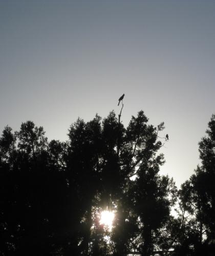 Juniper tree with birds and sunlight shining through
