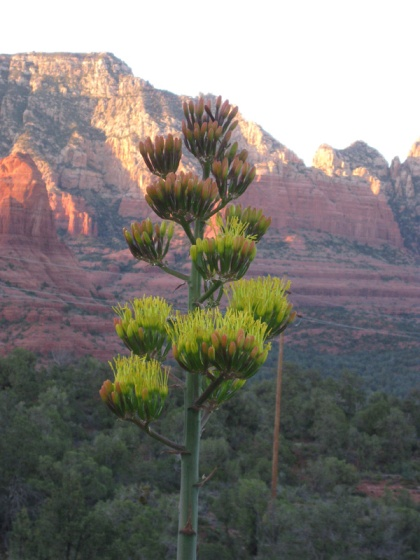 Century plant with red rocks behind