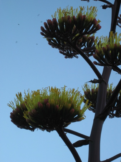 close up of century plant blossoms