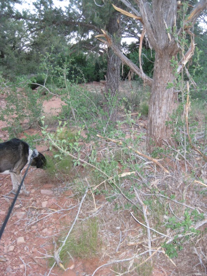 Bongo sniffing around damaged tree