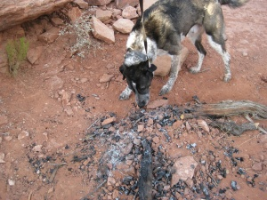 Bongo sniffing the remains of a camp fire