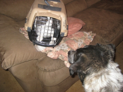 Bongo looking at Gizmo in a cat cage