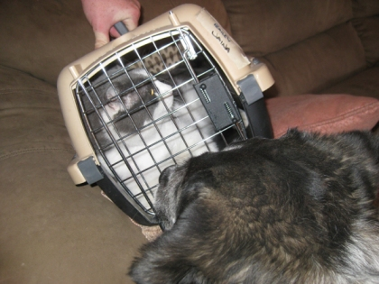 Gizmo being carried away in the cat cage with Bongo looking on