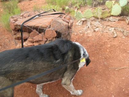Bongo sniffing around the found leash