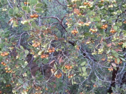Manzanita bush with berries