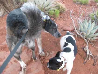 Bongo and little white and black dog